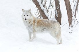 foto of white wolf  - wolf winter on nature on white snow - JPG