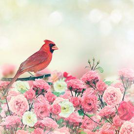 image of cardinal-bird  - Red Cardinal Bird Perches In Rose Garden - JPG