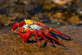 Sally Lightfoot Crab on the Galapagos Islands, Ecuador