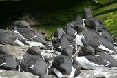 Common Murre, Flock