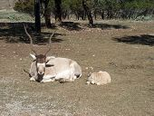 pic of eland  - AFrican Eland deer with baby on safari trip - JPG