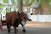 Oxen Pulling Cart