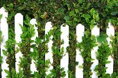 White Picket Fence And Green Leaves