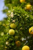 stock photo of orange blossom  - Blossoming greapfruit tree with fruits and flowers - JPG