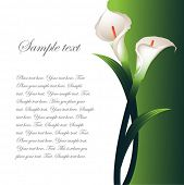 image of calla  - Background with White Callas - JPG