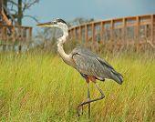 Heron in Marsh Gräser