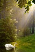 picture of morning sunrise  - Swan in lake with early morning sunshine streaming through trees on foggy morning - JPG