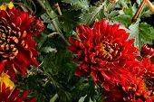 Fading Multicolor Chrysanthemum Flower On Black Horizontal poster