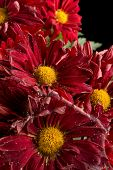 Fading Red Chrysanthemum Flower On Black Vertical poster