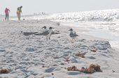 PERDIDO KEY, FL - JUNE 9: A flock of seagulls stand at the shore of the Gulf of Mexico as BP workers (background) clean the beaches on June 9, 2010 as oil threatens the beaches near Pensacola, FL.