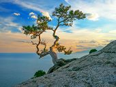 Pine On Rocks Near The Sea, Sea Landscape At Sunset Light. Beautiful Seascape Vith Pine Tree At Rock poster