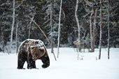 Beautiful Brown Bear Walking In The Snow In Finland While Descending A Heavy Snowfall poster