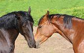 Horse Couple