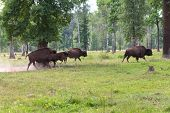 image of aurochs  - Aurochs in the wild outdoors - JPG