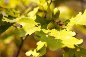 Acorn Autumn Oak Tree, Oak Green Leaves. poster