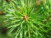 A Branch Of Pine Scrub Needles With Water Droplets In Sunlight, Top View, Macro. Macro Shot Of Fir C poster