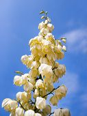 Cream Color Blossoms On Flower Stalk With Blue Sky, Creamy White Blooms On Flowering Branch With Cle poster