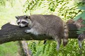 Raccoon Resting On A Tree Branch On A Warm Day. Summer Afternoon poster