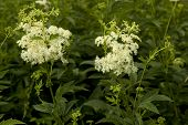 foto of meadowsweet  - white filipendula ulmaria on background green leaf - JPG