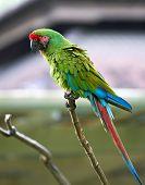 Great Green (buffon's) Macaw In Nature Surrounding
