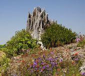 Red Blue Wildflowers Blast Stump Mount Saint Helens National Park Washington