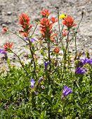 Wildflowers Close Up Red Indian Paint Brush Purple Larkspur Washington