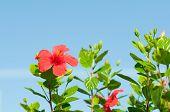 hibiscus rojo arnottianus