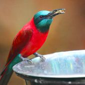 A Northern Carmine Bee-Eater (Merops nubicus). This african bird eating is made up primarily of bees