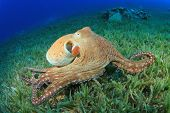 Big Red Octopus (polvo cyaneus)