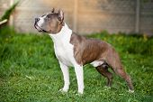 American staffordshire terrier in grass