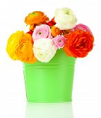 Ranunculus (persian buttercups) in pail, isolated on white