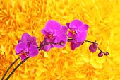 pic of yellow orchid  - Gentle beautiful orchid on yellow background - JPG