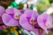 Beautiful Tropical Purple Orchids (orchidaceae - Phalaenopsis)