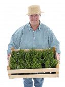 Female senior gardener wearing straw hat holding wooden crate full of aspic seedlings shot on white