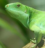 green iguana on tree branch.