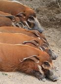 Wild Boars Sleeping Jpeg