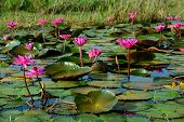 Beautiful Blossom Lotus Flower In Thailand Pond