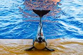 picture of grampus  - killer whale poses during a show at the Oceanarium - JPG