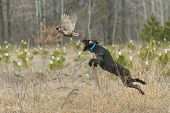 stock photo of roosters  - A hunting dog leaping to catch a pheasant - JPG