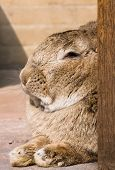 image of thumper  - close up of a rabbit in resting mode - JPG
