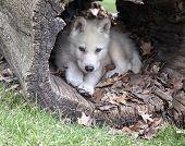 Arctic Wolf Pup