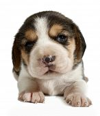foto of puppy beagle  - Beagle puppy - JPG