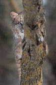Olho de lince (Lynx rufus) atrás de filial