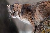Bobcat (rufus do Lynx) no ramo
