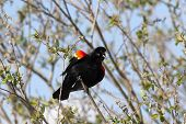 Chirping Red Winged Black Bird.
