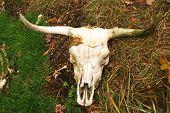 Cow's Skull.