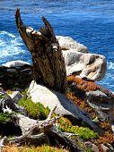 Horned Cypress Stump