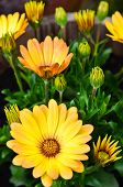 Yellow Daisys In A Flower Pot