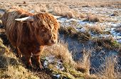 stock photo of highland-cattle  - Highland cattle outdoors on pasture in winter - JPG
