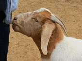 Hungry Goat